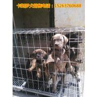 卡斯罗犬价格 常年出售大型猎犬卡斯罗,杜高犬