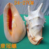 供应四大名螺 唐冠螺 皇冠螺 海螺贝壳摆件 收藏工艺品 贝壳装饰