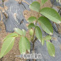 香玲核桃苗哪里有卖 8518核桃苗 山东泰东园艺场