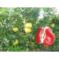 红心柚苗基地,红心柚子树苗价格品种