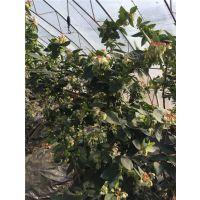 美国四季兔眼蓝莓种苗 价格 基地壹棵树农业 13953808530