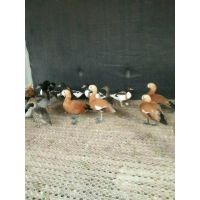 赤麻鸭养殖场出售赤麻鸭