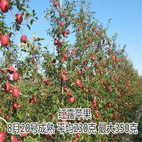 华硕苹果苗基地 优质早熟苹果苗品种