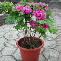 牡丹苗批发 牡丹苗 盆栽牡丹花苗 1-5分枝 规格全 根须好