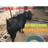 湖北黑山羊养殖场努比亚黑山羊价格