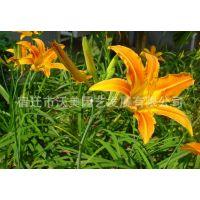 供应出口景观花卉种子,萱草种子,金娃娃萱草、黄花菜,金针菜