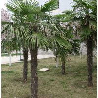 棕榈,棕榈苗木棕榈树苗圃