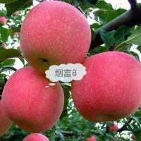 壹棵树农业 苹果树苗新品种 红肉苹果苗基地在哪 厂家销售