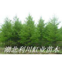基地直销米径8公分日本落叶松树苗