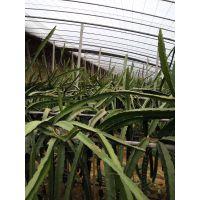 北方种植火龙果可以不用大棚吗/适合北方种的火龙果苗/对土壤有什么要求