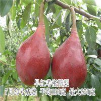 早红考蜜斯梨树苗 基地繁育梨树苗经济效益高现货梨树苗