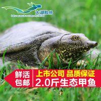 供应大湖生态甲鱼2.0斤/鳖/水鱼/团鱼/中华鳖/【大湖股份】