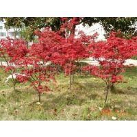 美国红枫,美国红枫苗,盆栽美国红枫小苗 一颗38元
