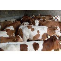 西门塔尔牛牛犊价格 铜陵哪里养殖西门塔尔牛的场子
