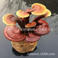 高档盆栽迷你小灵芝桌面 活林芝 珍贵药材美观大气 精品林芝盆栽