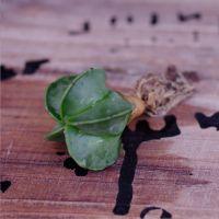 产地批发 多肉 多肉植物批发 防辐射小盆栽植物 仙人掌 鸾凤玉