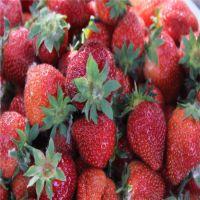 章姬草莓苗抗虫害 品质好 价格低 泰山大地果树园艺场