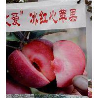 供应红肉苹果苗|红肉苹果苗|留源苗木
