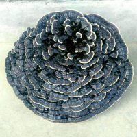 云南赤灵芝批发 云南灵芝种植技术培训