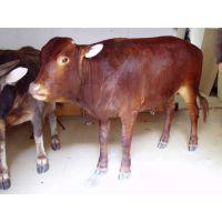 在哪里能买到草原红牛