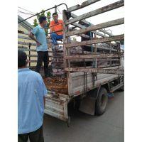 肉鸽养殖场、大型种鸽价格、种鸽多少钱一对
