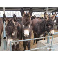大量品种肉驴的价格和养殖