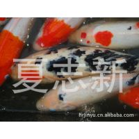徐州金鱼  红草  鱼苗  观赏鱼养殖场  淡水鱼