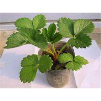 法兰地草莓苗|晨旭苗木园艺场|法兰地草莓苗特征