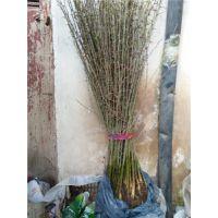 销售皂角苗子,皂刺种苗,皂刺产量与价格