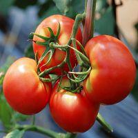 供应进口金利-抗ty粉果番茄种子