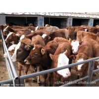 西门塔尔牛养殖前景,,西门塔尔育肥肉牛犊与小黄牛犊养殖前
