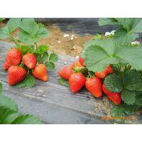 草莓苗哪里有卖 泰东园艺场