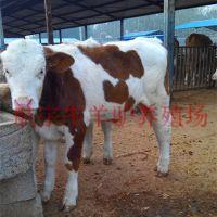 鲁西黄牛饲养管理500斤的肉牛犊多少钱南明