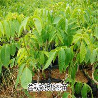 纯种核桃苗哪里有卖 香玲核桃苗 泰东园艺场
