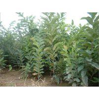 河北红光板栗苗,河北板栗苗价格,供应1-2公分板栗苗