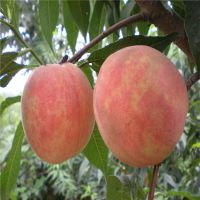 山东桃树苗的嫁接时间和桃树嫁接方法