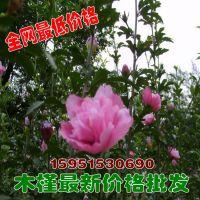 木槿树苗 落叶灌木 绿化苗木工程苗 量大从优