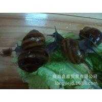 【特别推荐】优质品种散大蜗牛 食用散大蜗牛 诚信经营 品质保证