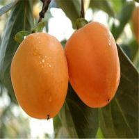 山东牛心柿子苗现货供应 1.5米高少核味甜柿子苗 量大从优