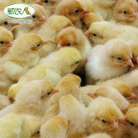 抚州民生农业长期供应麻羽高产绿壳蛋鸡
