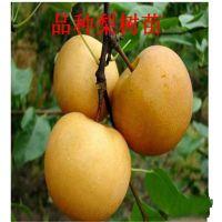 梨树苗价格,梨树苗种植基地,华山梨树苗价格