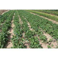 龙鑫苗木(图)、甜查理草莓苗基地、甜查理草莓苗