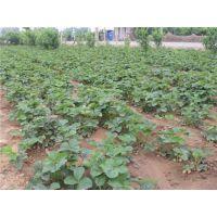 东莞鬼奴甘草莓苗、龙泽苗木、鬼奴甘草莓苗种植