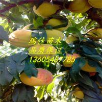 黄桃苗价格黄桃苗多少钱黄桃苗哪里有