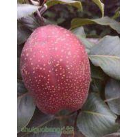 红考密斯梨树苗嫁接基地 红梨树苗的价格2016年最火爆的红梨品种