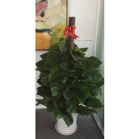 南韵竹风为您讲解深圳办公室绿植盆栽租赁的好处有哪些?