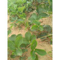 基地大量出售优质草莓苗 成活率高的草莓苗 小白草莓苗 草莓苗的价格 咖啡草莓苗 草莓苗的品种