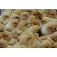 鸡苗孵化,柴鸡养殖,家禽孵化基地---南阳西洼家禽孵化场