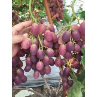山东葡萄树苗品种基地 0.4公分巨峰葡萄苗 0.5公分夏黑葡萄苗