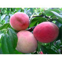 泰安佳丽园艺供应地径1公分晚熟桃树种苗 品种纯 价格优惠